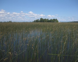 Pastoral Reed Bed - Pike & Musky Heaven..!!