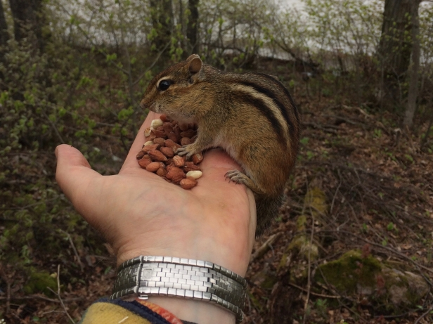 "Meet ""Dave"" our Friendly Resident Chipmunk"