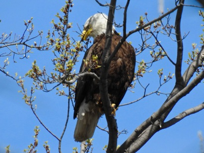 Bald eagle by nest