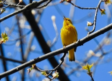 Yellow Warbler in full song