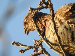 Ruffled Grouse gorging on acorns