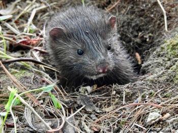 Mink peeking out of burrow
