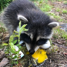 a Hungry Baby Racoon